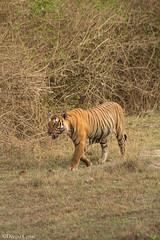 On the Prowl (Deepu Cyriac) Tags: travel nature animals wildlife tiger karnataka westernghats bengaltiger bandipur bandipurwildlifesanctuary royalbengaltiger bandipurnp bandipurtr