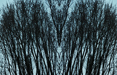 Blue Branches (LillyYellow) Tags: blue trees winter nature branches