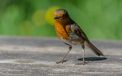 Nations favourite (davidrhall1234) Tags: nature robin birds nikon wildlife birdsofbritain nikond7100
