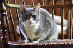 Old-Fashioned Cat (Victoria T Hunt) Tags: mackerel chair tabby rush
