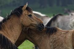 Mustangs and Wild Horses - 2016-0033_Web (berni.radke) Tags: horse pony mustang pferd nordrheinwestfalen colt wildhorse foal fohlen croy herde dlmen feralhorses wildpferdebahn merfelderbruch merfeld przewalskipferd wildpferd dlmenerwildpferd equusferus wildpferdefang dlmenerpferd dlmenpony herzogvoncroy wildhorsetrack