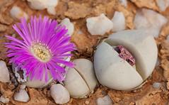 Argyroderma delaetii (Etwin1) Tags: argyroderma knersvlakte argyrodermadelaetii mesembs succulentsinhabitat