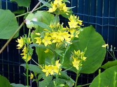 2016-06-25 punctatasf (april-mo) Tags: punctata yellow yellowflower summer fleur flower garden jardin