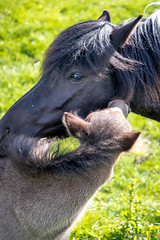 Mother and Son-5923 (Dante's Paparazzi) Tags: horses handheld apertureacademy iceland2016