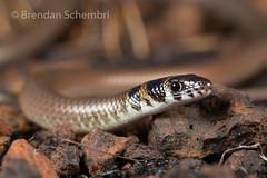 Rusty-Topped Delma (Delma borea) (Brendan Schembri) Tags: australia lizard delma legless borea pygopod brendanschembri