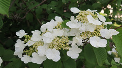 Viburnum flowers (Coyoty) Tags: life brown white plant flower green nature colors beauty leaves closeup garden grey spring bush flora close bokeh connecticut branches gray ct diagonal foliage hedge shasta shrub farmington shrubbery biodiversity viburnum summersnowflake viburnumplicatum japanesesnowball tunxiscommunitycollege