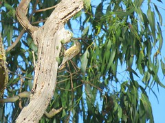 Cormobates leucophaeus 6 (barryaceae) Tags: park new birds wales south australia aves national australianbirds treecreeper dorrigo whitethroated leucophaea cormobates ausbird ausbirds