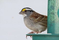White throated sparrow and a seed. (Natimages) Tags: birdfeeder feeder seeds sparrow whitethroatedsparrow springbird da3004 pentaxk3