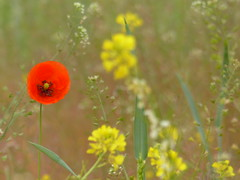 Klatschmohn , NGID1340998469 (naturgucker.de) Tags: mritznationalpark naturguckerde klatschmohnpapaverrhoeas carmindreisbach ngid1340998469