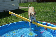 Cool Pool (DiamondBonz) Tags: dog pet pool hound whippet noodle spanky