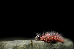 _MG_3591 (Daniel ResGo) Tags: macro canon insect colombia gusano insecto naturenaturaleza