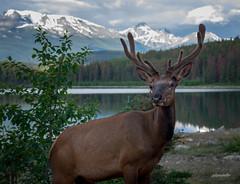 Elk encounter at Patricia Lake (jaki good miller) Tags: canada nature wildlife antlers elk albertacanada jaspernationalpark bullelk patricialake velvetantlers canadawildlife