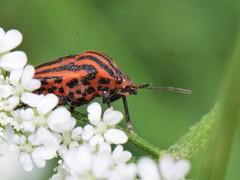 Pentatome ray - Graphosoma italicum - Striped shield bug (pablo 2011) Tags: macro nature nikon ngc toulouse insectes stripedshieldbug graphosomaitalicum nikonpassion nikonflickraward collectionnerlevivantautrement punaisearlequin pentatomeraye nikond7000