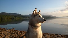 Laska at Loch Morlich (Strathmartine) Tags: dog scotland nokia portraiture microsoft loch phonetography cairngorms lochmorlich huskie carlzeiss windowsphone lumia carlzeisslens cairngormmountains microsoftphone lumia920 scottishscenary