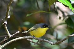 Ferreirinho-relgio (Todirostrum cinereum) (Anderson_Almeida_) Tags: minasgerais bird nature garden nikon ave birdwatching estiva d3100