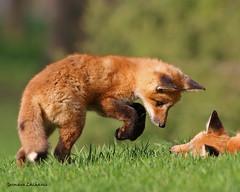 Renard roux (lachance.germain) Tags: red fox mammifre jeune jeux