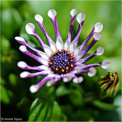 Cape Marguerite (Hindrik S) Tags: capemarguerite spaansemargriet macro plant garden garten tuin tn blom bloem flower skepping creation schepping schpfung nature natuur color tamronspaf90mmf28dimacro tamron 90mm sonyphotographing sony sonyalpha a57 57 slta57