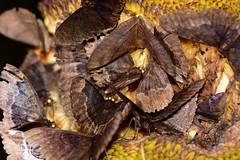 Jackfruit Party 2 (Bob Hawley) Tags: asia taiwan kaohsiung meilunshan nikond7100 tokina100f28 nature wildlife creatures animals nocturnal invertebrates jackfruit moths feeding