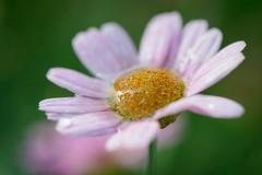 Margeriten mit Regentropfen (G_Albrecht) Tags: wasser pflanze lila landschaft regen wetter farben wassertropfen violett umwelt regentropfen margeriten gestaltung asternartige bluetenpflanze bluetengewaechs asteriden