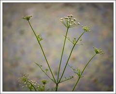 Living by the Lake #3 (mistymornings99) Tags: lake plant closeup wales unitedkingdom gb cowparsley refelections llandovery cilycwm photostyles