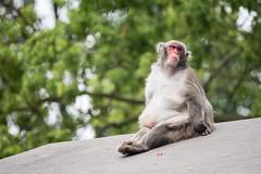 2016-06-11-13h32m15.BL7R9020 (A.J. Haverkamp) Tags: canonef100400mmf4556lisiiusmlens amsterdam zoo dierentuin httpwwwartisnl artis thenetherlands japansemakaak japanesemacaque
