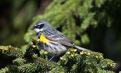 Yellow-rumped Warbler, Gander Cross-country Ski Trail (frank.king2014) Tags: ca canada gander yellowrumpedwarbler newfoundlandandlabrador