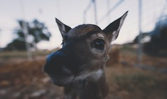 Curious Fawn (Chris Mourra) Tags: ranch summer baby brown grass canon texas south small deer fawn upclose vignette whitetail southtexas vsco deerbreeding deerbreedingranch
