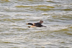 One fast cormorant! DSC_0114_edit (wbaiv) Tags: cormorant san francisco bay evening sunlight midsummer d3200