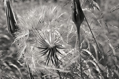 Seed head (Mr.White@66) Tags: seedhead backlit contrejour