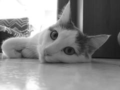 My cat... Pixel (Pier Romano) Tags: blackandwhite monochrome cat monocromo floor pixel felino miao gatto animale biancoenero micio pavimento