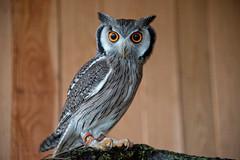 Weigesichtseule (Godwi_) Tags: tiere southern raptor owl augen vgel blick greifvgel eule whitefaced greifvogel ptilopsis granti weisgesichtseule