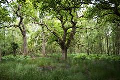 Dorset Woods (rexlindis) Tags: england tree forest landscape woods dorset arne