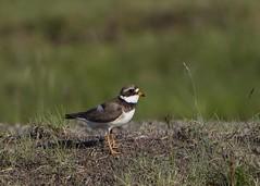 Ringed Plover (ingolfssonvalur) Tags: bird birds wildlife fugl plover ringed charadriushiaticula fuglar sandla