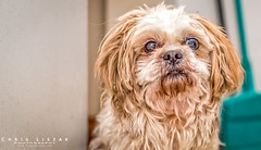 Yoda's Crazy Eyes (Chris Liszak Photography) Tags: dog pet pets color colour dogs wow sharp stunning shitzu petphotography nikond7100 chrisliszakphotography