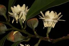 Eupomatia laurina (andreas lambrianides) Tags: buds australianflora laurina australiannativeplants arfp eupomatia eupomatiaceae bolwarra australianrainforests australianrainforestplants copperlaurel vrfp nswrfp qrfp nativeguava arfflowers whitearfflowers tropicalarf littoralarf subtropicalarf dryarf warmtemperatearf wetsclerophyllaf cyrfp understoreyarfp