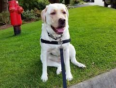 Gracie sitting curbside (walneylad) Tags: summer dog pet cute june puppy gracie lab labrador canine labradorretriever