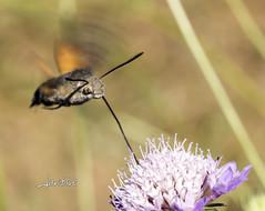 Mariposa Colibr (javiblue25) Tags: espaa naturaleza flores insectos macro zaragoza bichos macrofotografa