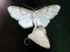 butterflies sex (from the other side) (stempel*) Tags: polska poland polen polonia pentax k30 50mm gambezia macro makro