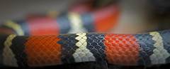 Scarlet Kingsnake (cre8foru2009) Tags: colorful pattern snake kingsnake tricolored scarletkingsnake herping lampropeltiselapsoides