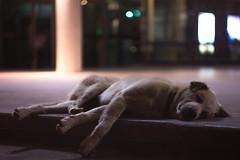 IMG_0200_1 (pavel.milkin) Tags: city urban dog night puppy friend sweet sleep helios 442 helios442 helioslens