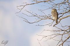 Pearl-spotted Owlet- Kruger National Park, South Africa (wsweet321) Tags: africa bird nature southafrica mammal birding safari research endangered krugernationalpark kruger satara savanna bigfive skukuza knp lowersabie