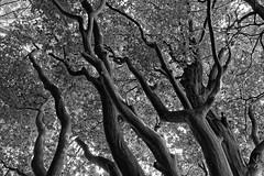 Buche am Fischteich - 2016 - 0006_Web (berni.radke) Tags: tree giant baum beech buche colossus riese fischteich dlmen hausdlmen