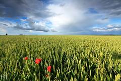 Rustique Normandie (NeoNature) Tags: sky nature rain weather canon landscape rainbow wheat curtain pluie ciel poppy nuage paysage rideau coquelicot arcenciel ble