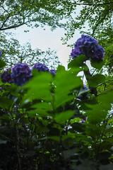 DP2Q4004lr (yoshitoshi ABe) Tags: flower sigma    dp2quattro 20160625