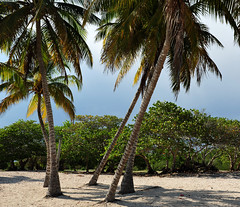 DSA_3458 (Dirk Rosseel) Tags: white tree beach palms sand cuba playa palm caribean playadeloscocos playagirn