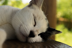 Cat taking a nap (lfntyltc42) Tags: sleeping wild white black nature warm kitty polka okinawa dots poco