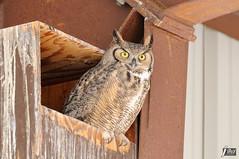 Great Horned Owl (cebuphotographer) Tags: utah antelopeisland greathornedowl nikoncapturenx nikond300 nikon200500mmf56
