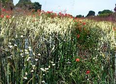 2016-07-07 aquarelle poppy field 1 (april-mo) Tags: poppy poppyfield redpoppy coquelicot redflower art flower fleurs field wheatfield champdebl nord france