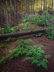 Baldwin's Wood (Damian_Ward) Tags: wood morning trees forest woodland photography buckinghamshire foxgloves thechilterns chilternhills damianward damianward baldwinswood
