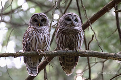 Love birds (Maja's Photography) Tags: trees portrait nature birds forest canon bc wildlife pair perch raptors owls barredowls